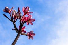 Λουλούδια Plumeria στο μπλε ουρανό Στοκ εικόνα με δικαίωμα ελεύθερης χρήσης