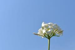 Λουλούδια Plumeria στο μπλε ουρανό Στοκ φωτογραφίες με δικαίωμα ελεύθερης χρήσης