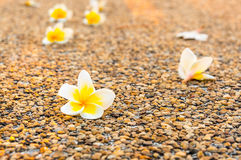 Λουλούδια Plumeria στο πάτωμα στο ηλιοβασίλεμα Στοκ εικόνα με δικαίωμα ελεύθερης χρήσης