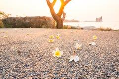 Λουλούδια Plumeria στο πάτωμα στο ηλιοβασίλεμα Στοκ Φωτογραφίες
