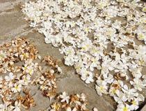 Λουλούδια Plumeria στο πάτωμα τούβλου Στοκ Εικόνα
