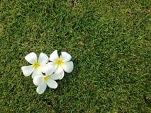 Λουλούδια Plumeria στο πράσινο υπόβαθρο χλόης, Leelavadee Στοκ Εικόνες