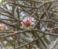 Λουλούδια Plumeria στο υπόβαθρο κλάδων Στοκ Φωτογραφία