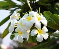 Λουλούδια Plumeria Στοκ Εικόνες