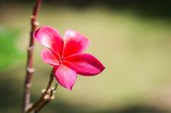 Λουλούδια Plumeria Στοκ εικόνες με δικαίωμα ελεύθερης χρήσης