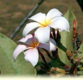 Λουλούδια Plumeria Στοκ Εικόνα