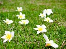 Λουλούδια Plumeria Στοκ Φωτογραφίες