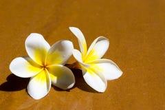 Λουλούδια Plumeria Στοκ φωτογραφίες με δικαίωμα ελεύθερης χρήσης