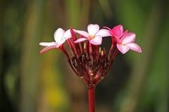 Λουλούδια Plumeria Στοκ φωτογραφία με δικαίωμα ελεύθερης χρήσης