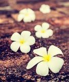 Λουλούδια plumeria Frangipani στις πέτρες Στοκ Φωτογραφία