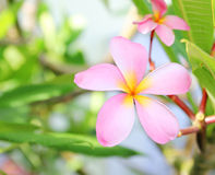 Λουλούδια Plumeria Frangipani στον τροπικό κήπο Στοκ Εικόνες