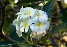 Λουλούδια Plumeria (frangipani) στο δέντρο Στοκ εικόνες με δικαίωμα ελεύθερης χρήσης