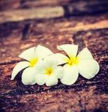 Λουλούδια Plumeria Frangipani Στοκ Εικόνες
