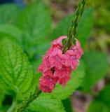 Λουλούδια Poaceae στους βοτανικούς κήπους στη Σιγκαπούρη Στοκ εικόνες με δικαίωμα ελεύθερης χρήσης