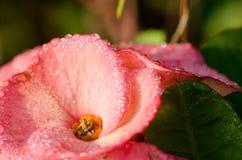 Λουλούδια POI Σηάν, ρόδινα λουλούδια POI Σηάν στον κήπο Στοκ Εικόνες