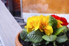Λουλούδια Primula Στοκ Εικόνες