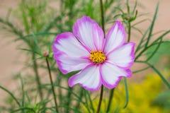 Λουλούδια Primula Στοκ φωτογραφίες με δικαίωμα ελεύθερης χρήσης
