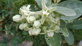 Λουλούδια procera Calotropis Στοκ Εικόνες