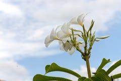 Λουλούδια Pudica Plumeria Στοκ Εικόνες