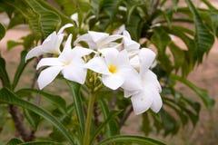 Λουλούδια Pudica Plumeria Στοκ εικόνα με δικαίωμα ελεύθερης χρήσης