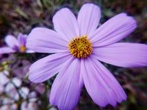 Λουλούδια Puple Στοκ φωτογραφία με δικαίωμα ελεύθερης χρήσης