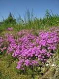 Λουλούδια Purlple Στοκ εικόνα με δικαίωμα ελεύθερης χρήσης