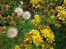 Λουλούδια Ragwort και κεφάλια σπόρου Στοκ Εικόνα