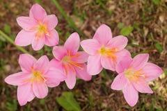 Λουλούδια rosea Zephyranthes που ανθίζουν μετά από μια δυνατή βροχή Στοκ Φωτογραφίες