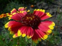 Λουλούδια Rudbeckia στοκ φωτογραφία με δικαίωμα ελεύθερης χρήσης