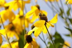 Λουλούδια Rudbeckia Στοκ Εικόνα