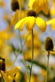 Λουλούδια Rudbeckia Στοκ Εικόνες