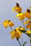 Λουλούδια Rudbeckia Στοκ Φωτογραφία