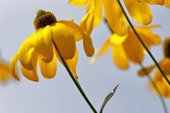 Λουλούδια Rudbeckia Στοκ Φωτογραφίες