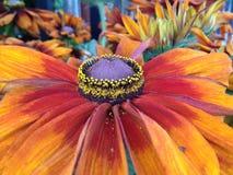 Λουλούδια Rudbeckia Cappuccino Στοκ Εικόνα