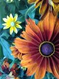 Λουλούδια Rudbeckia Cappuccino Στοκ Φωτογραφίες