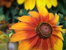 Λουλούδια Rudbeckia Cappuccino Στοκ φωτογραφία με δικαίωμα ελεύθερης χρήσης
