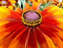 Λουλούδια Rudbeckia Cappuccino Στοκ Εικόνες