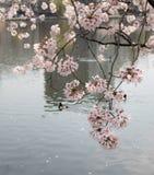Λουλούδια sakura ανθών κερασιών που απεικονίζουν στο νερό στοκ εικόνα