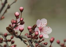 Λουλούδια Sakura Στοκ φωτογραφία με δικαίωμα ελεύθερης χρήσης