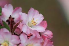Λουλούδια Sakura Στοκ φωτογραφίες με δικαίωμα ελεύθερης χρήσης
