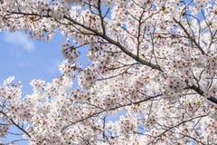 Λουλούδια Sakura Στοκ εικόνες με δικαίωμα ελεύθερης χρήσης