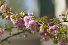 Λουλούδια Sakura Στοκ Εικόνες