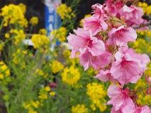Λουλούδια Sakura Στοκ Φωτογραφίες