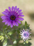 Λουλούδια Scabius Στοκ Εικόνες