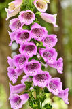 Λουλούδια Snapdragon Στοκ φωτογραφίες με δικαίωμα ελεύθερης χρήσης