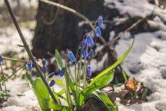 Λουλούδια Snowdrop στην άνοιξη Στοκ Εικόνες