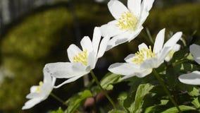 Λουλούδια Snowdrop απόθεμα βίντεο