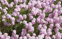 Λουλούδια stylosum Aethionema Στοκ φωτογραφίες με δικαίωμα ελεύθερης χρήσης