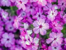Λουλούδια subulata Phlox στο άνθος Στοκ Εικόνες
