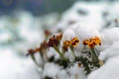 Λουλούδια Tagetes κάτω από το χιόνι Στοκ Φωτογραφία